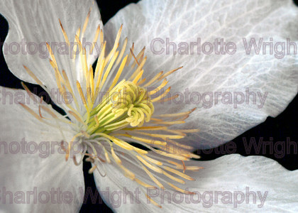 Clematis 5 